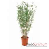 bambou orienta160 cm en pot k louis maes 03512000k