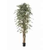 ficus benjamina bi color louis maes 40109210