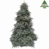 sapin de noedelux abies nordmannh260d175 forest blue tips 4406 nf 389609