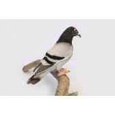 pigeon voyageur anima 6299