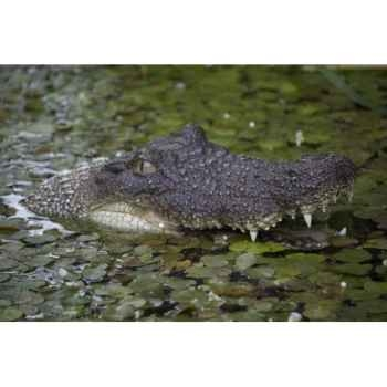 Crocodile( tete de crocodile lumineuse) Intermas 180728