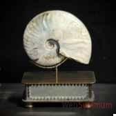 ammonite cleoniceras avec coquille pm objet de curiosite fo025