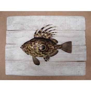 Cadre poisson de mer Cap Vert Saint-Pierre -CADR09