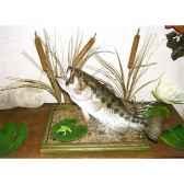 trophee poisson d eau douce cap vert black bass tr01
