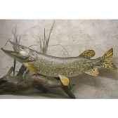 trophee poisson d eau douce cap vert brochet tr05