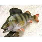 trophee poisson d eau douce cap vert perche tr08