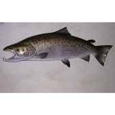 trophee poisson d eau douce cap vert truite de mer tr14