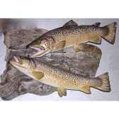 trophee poisson d eau douce cap vert truite fario femelle tr16
