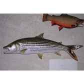 trophee poisson d eau douce tropicale cap vert poisson tigre tr018