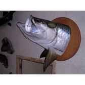 trophee poisson d eau douce tropicale cap vert tarpon tete tr019