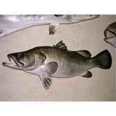 trophee poisson d eau douce tropicale cap vert perche du nitr020