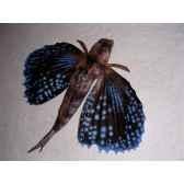 trophee mammifere marin cap vert rouget volant tr031