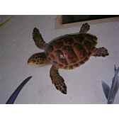 trophee mammifere marin cap vert tortue carette tr032