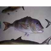 trophee poisson des mers atlantique mediterranee et nord cap vert denti tr037