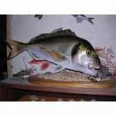 trophee poisson des mers atlantique mediterranee et nord cap vert dorade royale tr040
