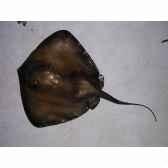 trophee poisson des mers atlantique mediterranee et nord cap vert raie pastenague tr043
