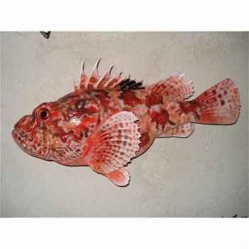 Trophée poisson des mers atlantique méditerranée et nord Cap Vert Rascasse -TR044