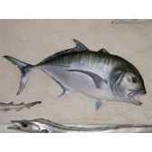 trophee poisson des mers tropicales cap vert carangue ignobilis tr051