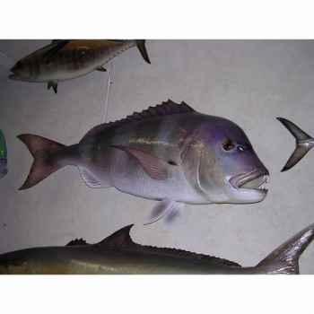 Trophée poisson des mers atlantique méditerranée et nord Cap Vert Denti -TRDF38
