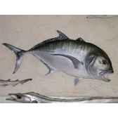 trophee poisson des mers tropicales cap vert carangue ignobilis trdf52