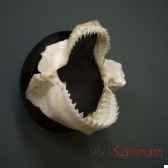 machoires de requin dalatias licha en trophee objet de curiosite an120