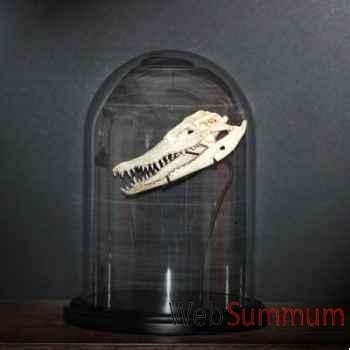 Crâne de crocodile Objet de Curiosité -AN038