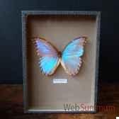 papillon morpho godarti objet de curiosite in026