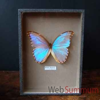 Papillon morpho godarti Objet de Curiosité -IN026