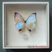 papillon morpho sulkowski objet de curiosite in034