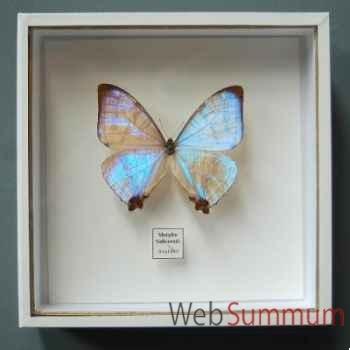 Papillon morpho sulkowski Objet de Curiosité -IN034