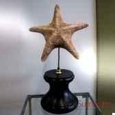 etoile de mer objet de curiosite an006