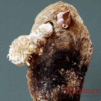 Pinna des philipines Objet de Curiosité -PU287-7