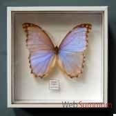 papillon morpho godarti objet de curiosite in033