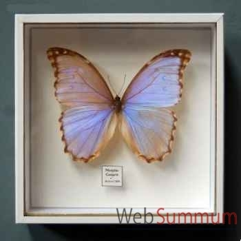 Papillon morpho godarti Objet de Curiosité -IN033