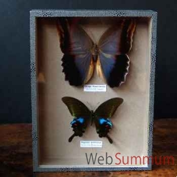 Boite de 2 papillons (polyctor) Objet de Curiosité -IN029