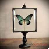 papillon zalmoxis objet de curiosite in043