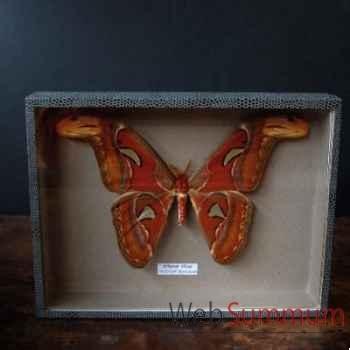 Papillon atacus atlas Objet de Curiosité -IN027