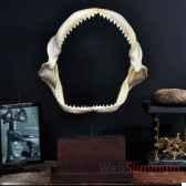 machoire de requin carcharinus obscurus objet de curiosite an093