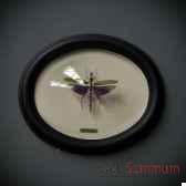titanacris albipes objet de curiosite in035