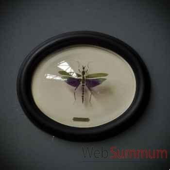 Titanacris albipes Objet de Curiosité -IN035