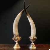 cornes de watusi polies objet de curiosite an089