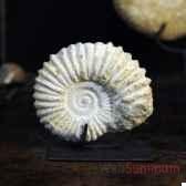 ammonite objet de curiosite an047