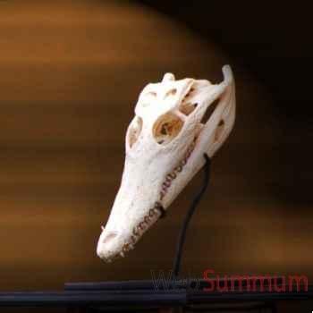 Crâne de crocodile 20-25 cm Objet de Curiosité -AN091